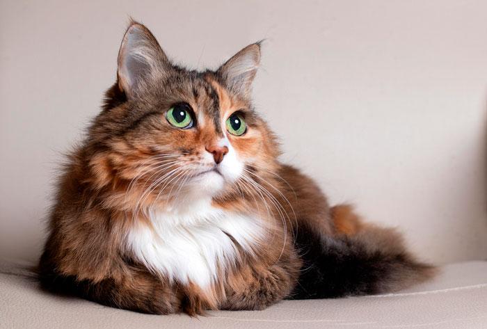 Bravecto, la forma más eficaz de eliminar los ácaros del oído de los gatos
